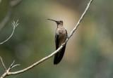 Giant Hummingbird4