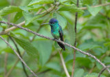 Golden-tailed Sapphire4
