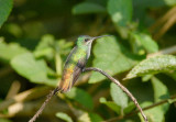 Golden-tailed Sapphire6