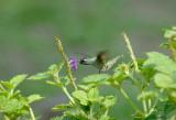 Violet-headed Hummingbird3