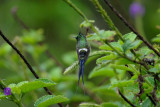 Wire-crested Thorntail2