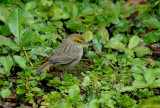 Yellow-browed Sparrow2
