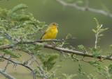 Grassland Yellow-Finch3