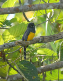 Garthered Trogon
