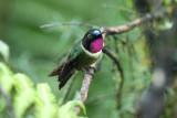 Amethyst-throated Sunangel