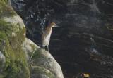 Fasciated Tiger-Heron
