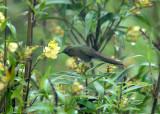 Rufous-capped Thornbill