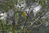 Orange-throated Tanager