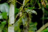 Tawny-bellied Hermit