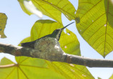 Black-throated Mango