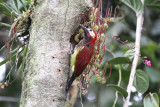 Crimson-mantled-Woodpecker2.jpg