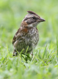 Rufous-collared-Sparrow2.jpg