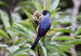 Blue-backed Conebill
