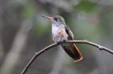 Amazilia Hummingbird