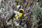 Masked Mountain-Tanager