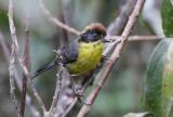 Rufous-naped Brush-Finch