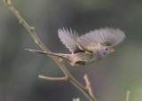 Wedge-tailed Grass-Finch