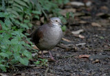 White-throated Quail-Dove