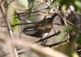 Speckle-breasted Wren
