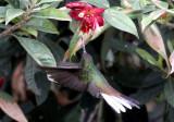 White-tailed Hillstar