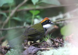 Chestnut-capped Brush-Finch