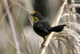 Pale-naped Brush-Finch