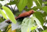 Little Cuckoo