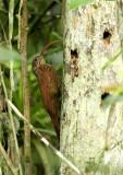 Red-billed Scythebill