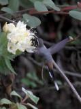 Gray-chinned Hermit