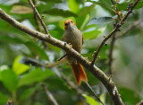 Red-faced Spinetail2