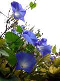 Les ipomées bleues