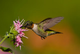 ruby_throated_hummingbirds