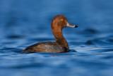 redhead-duck-drake-at-sundown.jpg