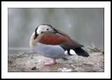 Chiloe wigeon