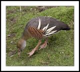Plumed or Eytons Whistling Duck