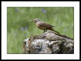 Redstart (Female)