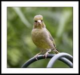 Professor greenfinch