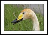 Juveneille Bewicks Swan