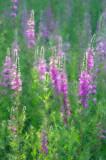 Purple Loosestrife #2Bedford, NH