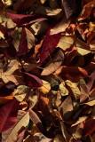 Leaves1IMG_4388.JPG