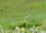 Sandhill Cranes and Two Chicks