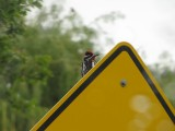 Red-naped Sapsucker Beating on Sign