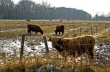 bulls between Haren and Groningen