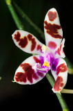 Phalaenopsis mariae (flower)