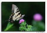 Butterfly on Skyline Drive