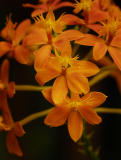 Epidendrum_001.jpg