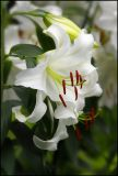 Longwood Easter Lillies_001.jpg