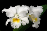 Cattleya Scintillation Virginia