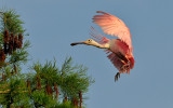 Roseate Spoonbill Coming in to Land!