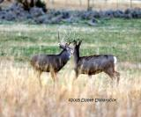 Pair of mule deer